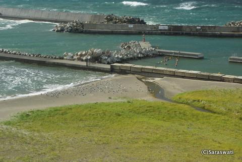 寒い日は海岸に集まる海鳥達