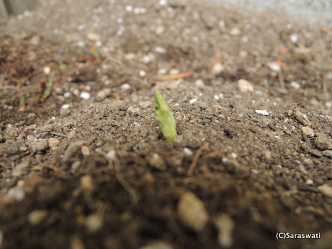 グリンピースの芽