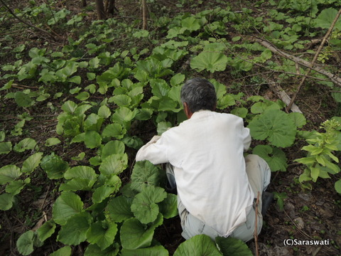 滝本農場の山菜採り名人