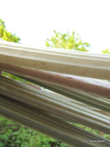 オタモイ産の蕗