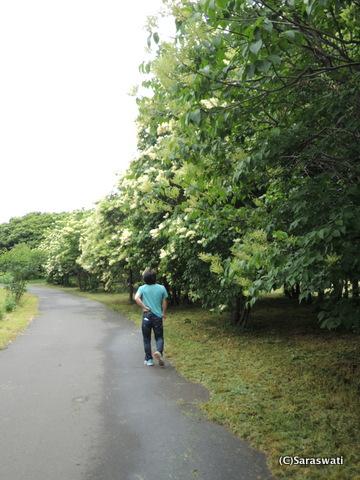 前田森林公園 満開のハシドイ