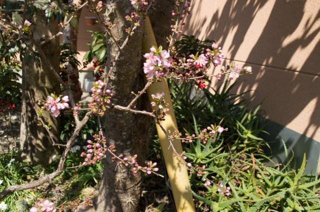 桃の花の7下にサボテンの新芽らしきトゲトゲ