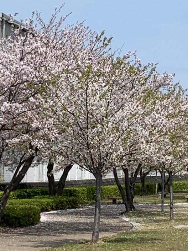 葉桜チラリの満開です。誰もいない公園プライベートパークみたい