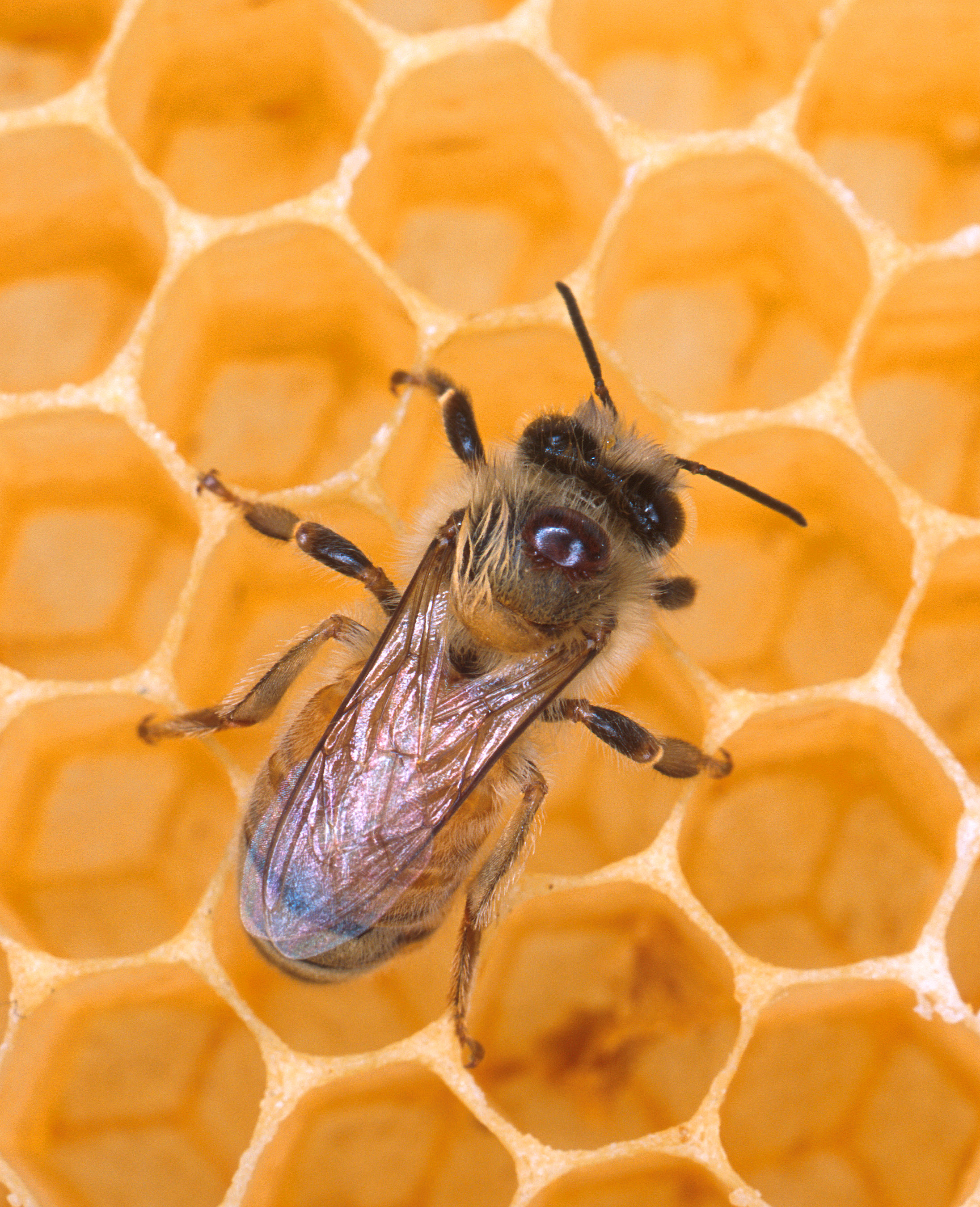 Honey bee in a hive. Image from library.thinkquest.org