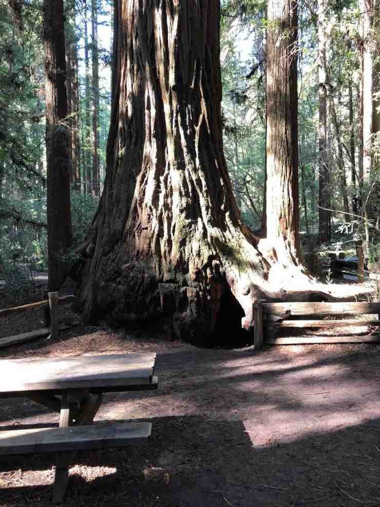 Fremont tree in Henry Cowell State Park