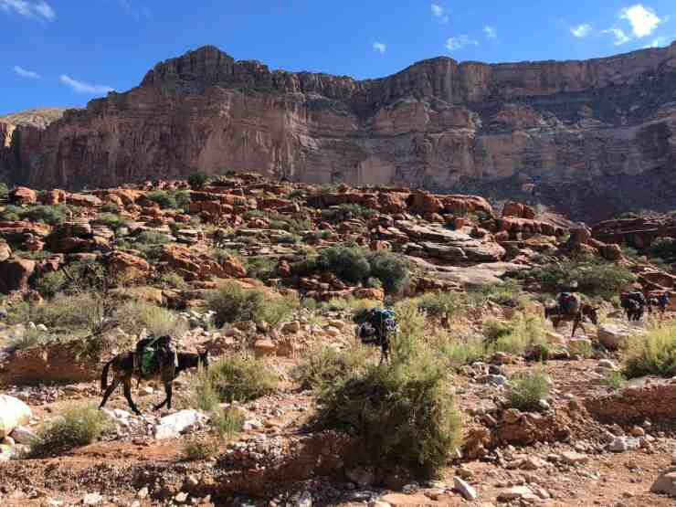 Mules carry gear for campers and villagers on the trail to Havasu Falls