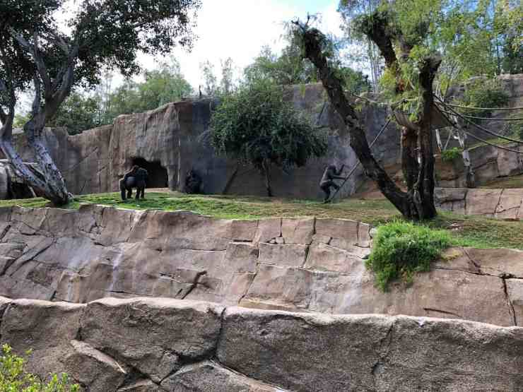 gorillas playing on ropes and exploring their enclosure at the wild animal park in san diego