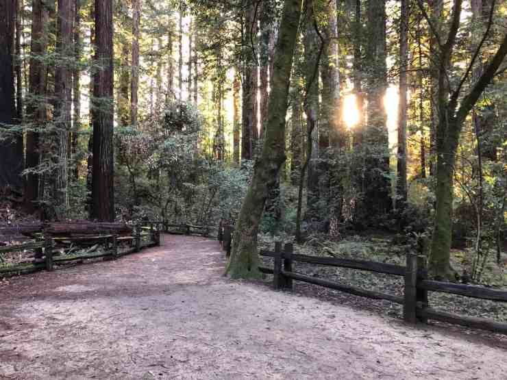 trail through the redwood trees with sun coming through the trees