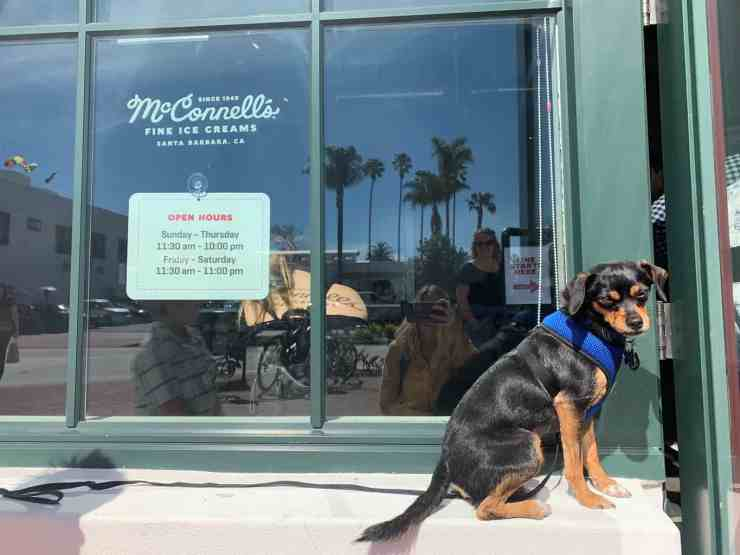 little black dog sitting in the window at McConnell's ice cream in Santa Barbara California.