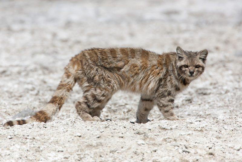 Avistan un gato andino, una especie que no había sido vista en 12 años en el país