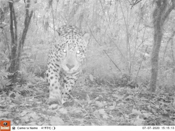 Evalúan un corredor ecológico clave para la supervivencia del yaguareté