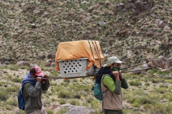 Un cóndor andino rescatado en el cerro Jasimaná será tratado por Fundación Bioandina Argentina en Buenos Aires