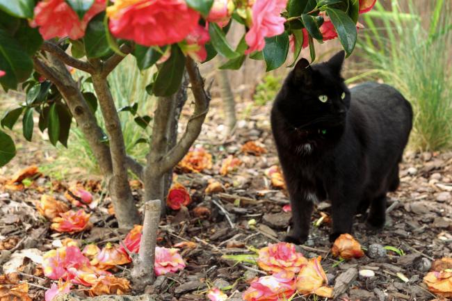 Camellia cat