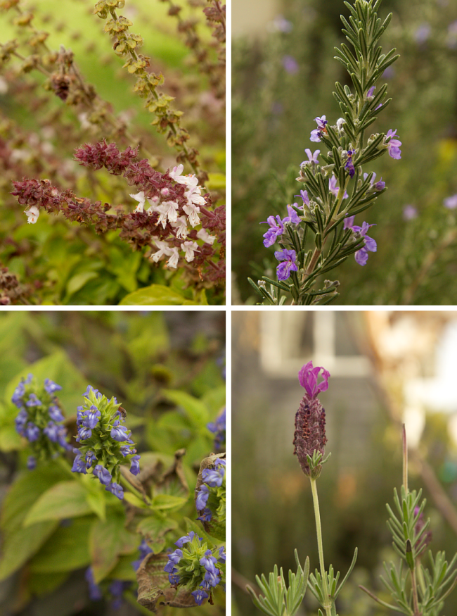 Herb garden - Autumn/winter flowers, 2016 | Saltbush Avenue