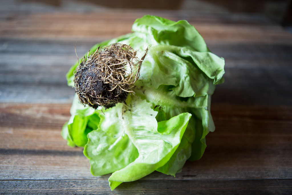 Living butter lettuce is sold with roots intact so that they can continue to provide nourishment to the leaves.