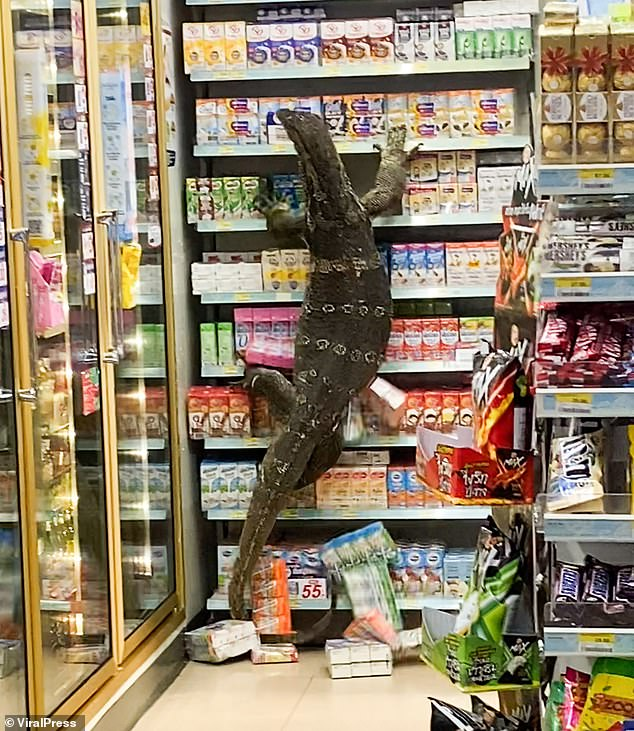 The giant reptile sparked panic after it emerged from a nearby canal and ran into the 7-Eleven store in Nakhon Pathom, Thailand, yesterday