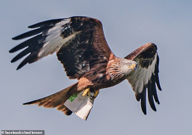 Mr Brown wrote: ''I watched as one dived down for what I thought was going to be prey, but instead the Kite appeared with this McDonald's coffee cup in its claws!'