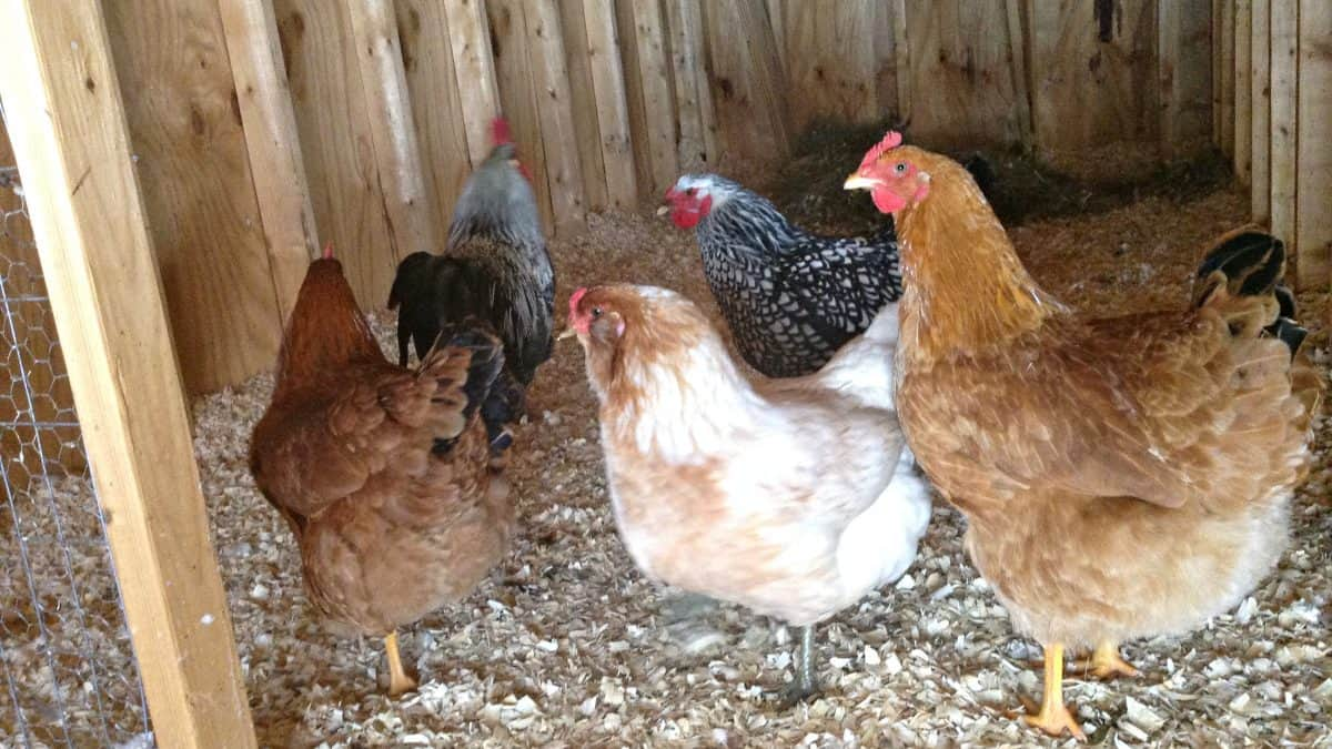 Do Your Chickens Need A Heat Lamp Salt In My Coffee