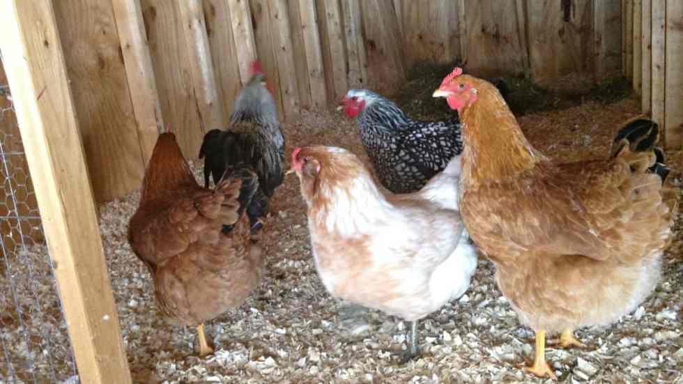 Winter Chickens 3