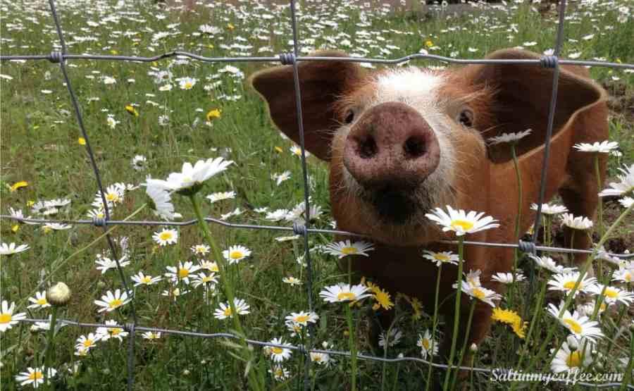 making money homesteading pastured pork