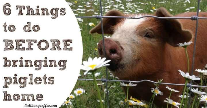before bringing home piglets