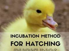 incubation method for hatching ducklings