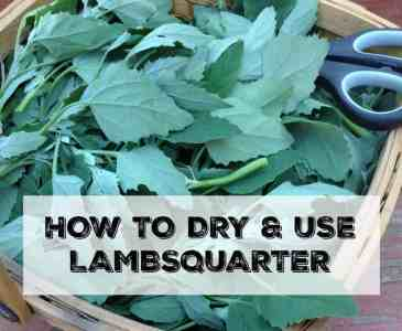 how to dry and use lambsquarter