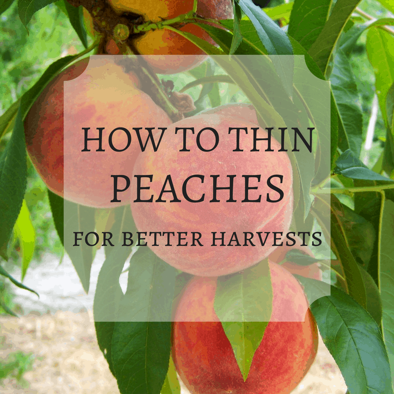 How to Thin Peaches for Better Harvests & Healthier Trees