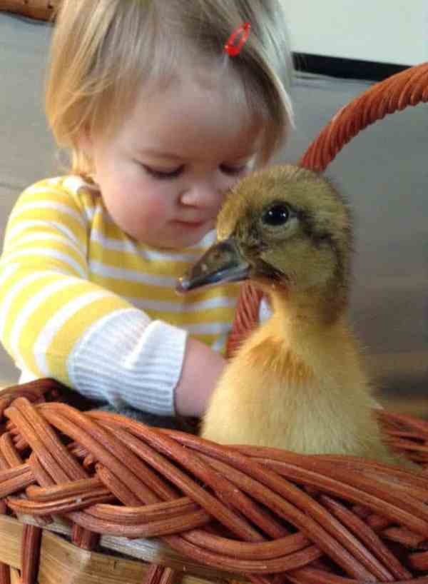 How to Raise Friendly Ducks - Celebrating a Simple Life