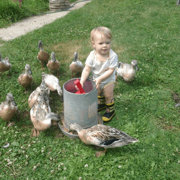 raising friendly ducks with kids