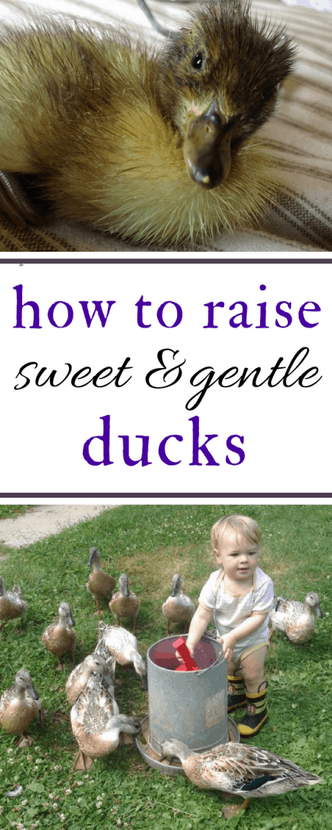 Good list of practical ways to train ducklings to be sweet, friendly, and gentle, and stay that way as they mature