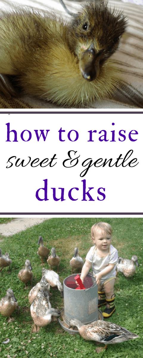 how to raise gentle ducks