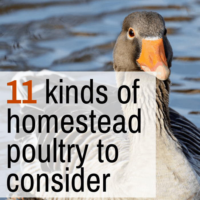11 Kinds of Poultry You Can Raise On a Homestead