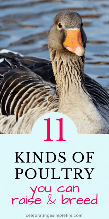 kinds of poultry you can raise and breed