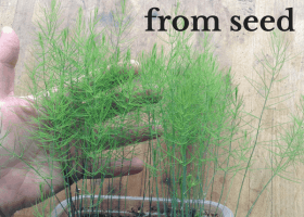How to Grow Asparagus From Seed