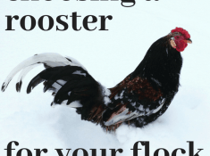 choosing the best rooster for your flock
