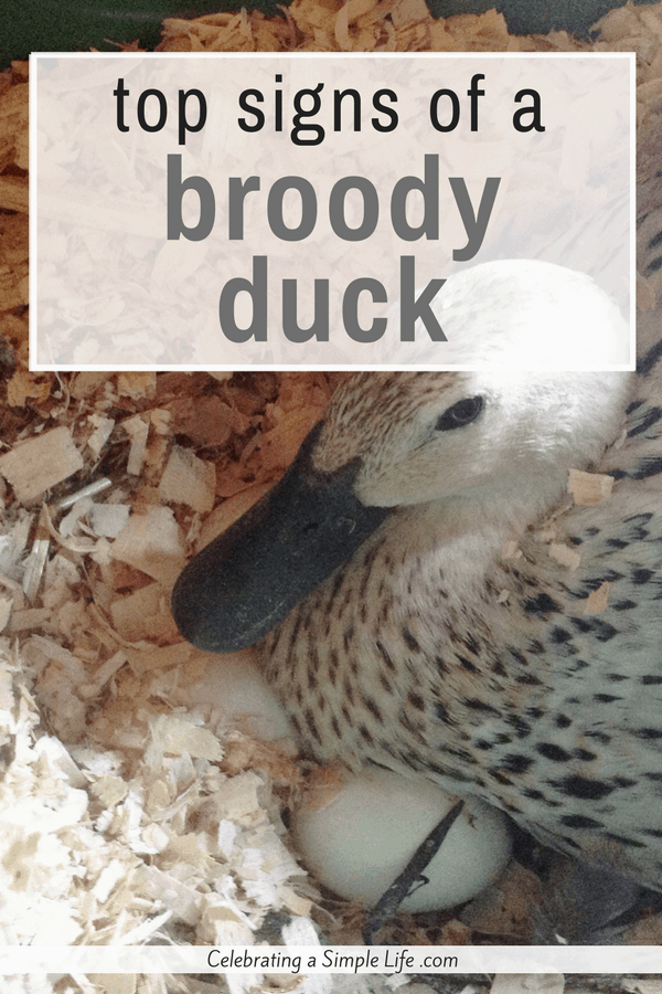 top signs of a broody duck