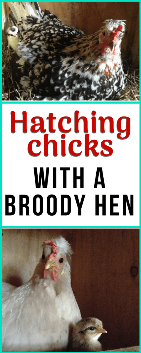 Helpful tips for hatching out baby chicks with a broody hen