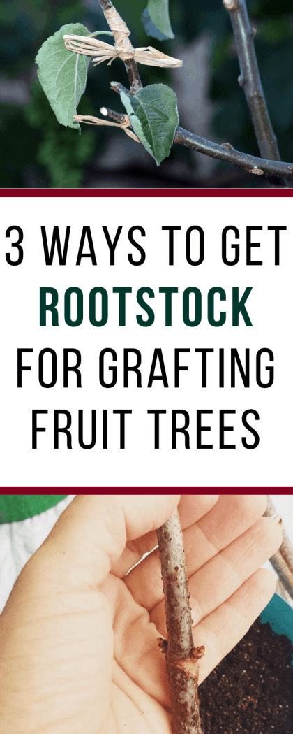 how to get rootstock for grafting fruit trees