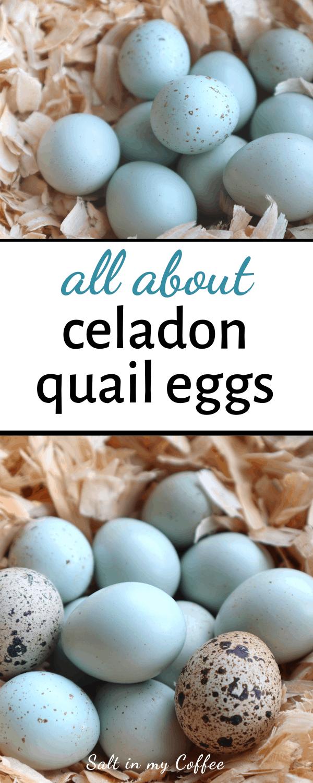 celadon blue coturnix quail eggs