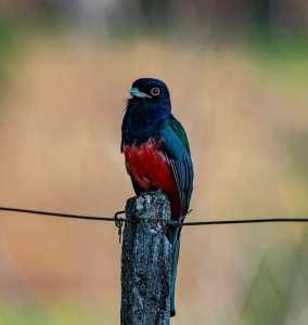 rodrigo-aves-4-284x300 As aves em suas cores e tamanhos diversos iluminando a natureza em Salto do Jacuí. Vamos preservar nossas riquezas. Fotos: Rodrigo Rodrigues