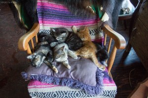 Kittens on Salt Spring Island
