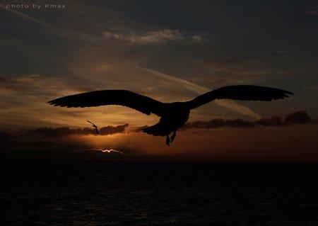 victoria gull