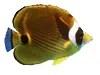 raccoon-butterflyfish1