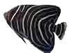 semicircle-angelfish2