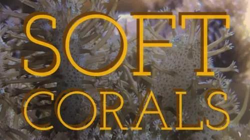 soft corals title image