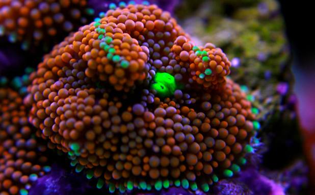Live Saltwater Coral and Livestock Retailer of Southern, Nevada - Aquatic Treasures