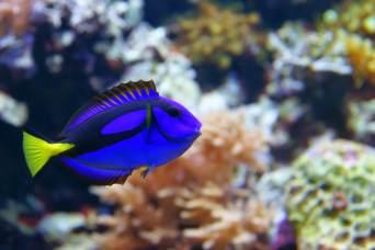Blue Tang Paracanthrus Hepatus Fish