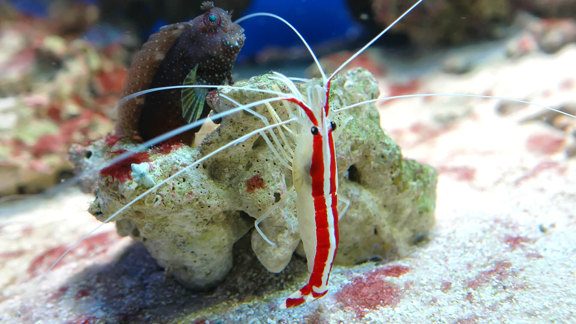Beautiful Saltwater Cleaner Shrimp - Available at Aquatic Treasures of Las Vegas, Nevada