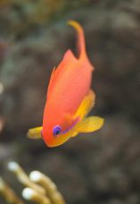 Red Anthias Saltwater Fish